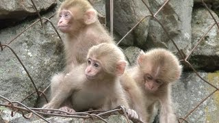 【SNOW MONKEY】 ☆Cute Baby☆ Growth 1 地獄谷野猿公苑