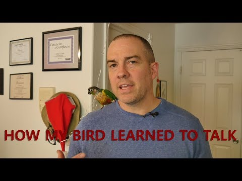 How I Taught My Green Cheek Conure to Talk