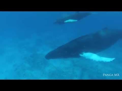 Encountering a New Born Humpback Calf