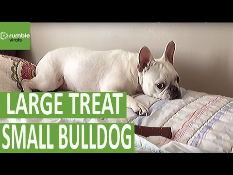 French Bulldog Unsure What To Do With Large-sized Treat
