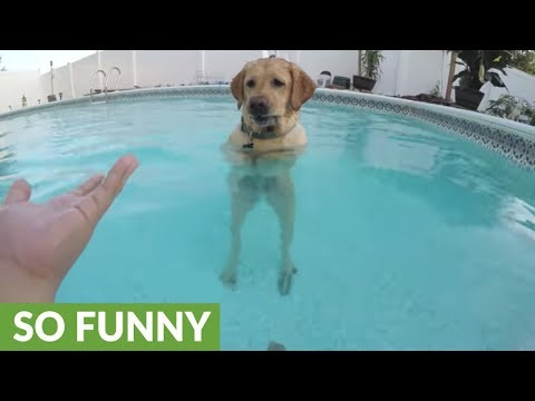 Clever Dog Learns How To Stand In Pool Like A Human