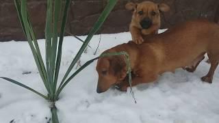 Собачьи бега / dog races )))приколы с собаками такса или болонка кто кого