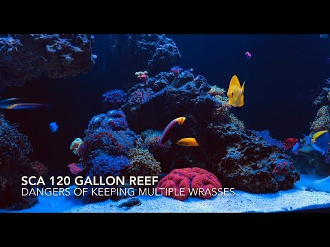 SCA 120 Gallon Reef | Ep.23 | Dangers Of Keeping Multiple Wrasses