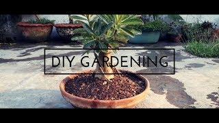 how to make adenium bonsai | adenium bonsai | How to grow adenium as Bonsai