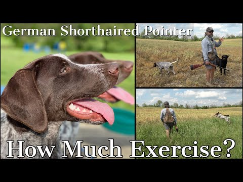 German Shorthaired Pointer - How Much Exercise Does A GSP Really Need?