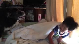 夏休みに入ってお寝坊な息子を起こす賢いボーダーコリー(笑) 布団から出...
