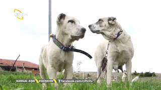 Akbaş Ve Kangal Arası Denilen Ala Köpekleri - Kangal Aşkı / Çiftçi TV