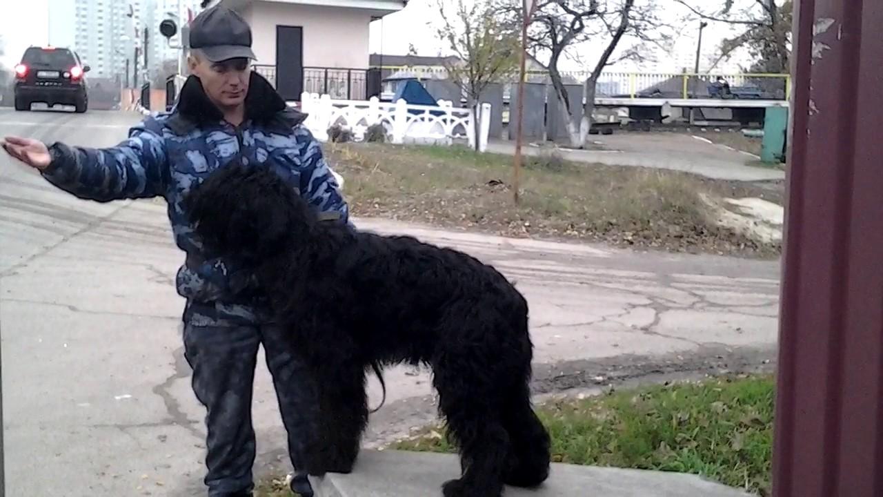 Тренировка с собакой в шумных условиях.