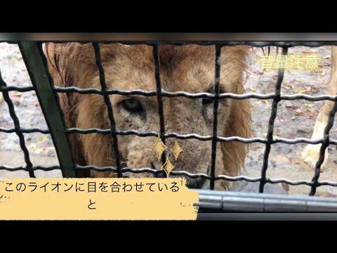 【トラウマ注意】動物園で起きたライオンがもたらしたハプニング