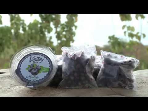 Download Cultivo de mirtilo