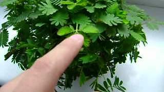 muchołówka i mimoza niesamowite ruchy roślin