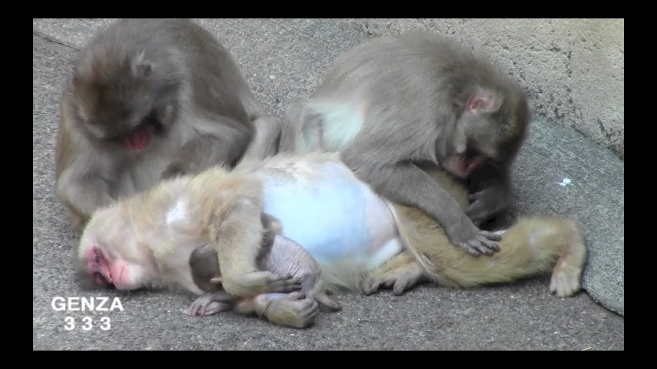 Pregnant Woman Holding Her Baby Monkey - Youtube-7324