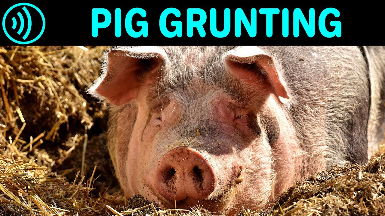 PIG GRUNTING SOUND EFFECT - Grunting Pig | Free Pig Grunting Noise Sound FX  for Download