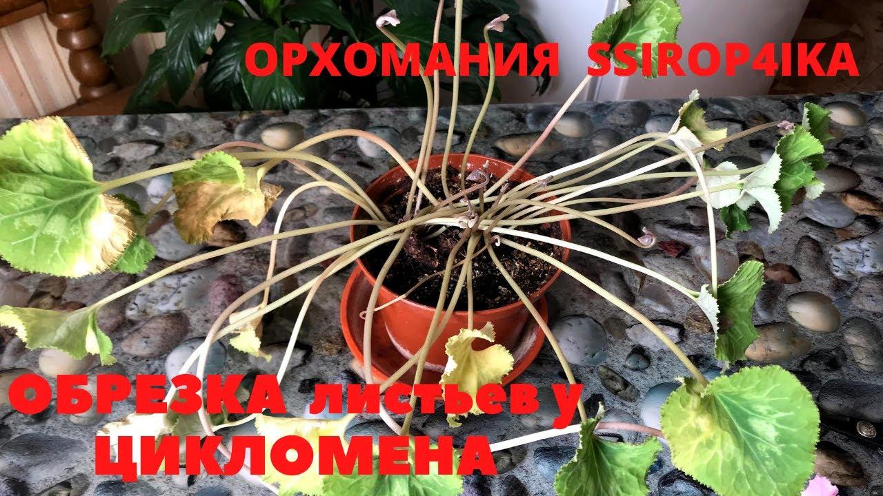ОБРЕЗКА листьев у ЦИКЛОМЕНА!