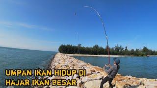 Mancing pinggiran umpan ikan hidup dapat ikan besar