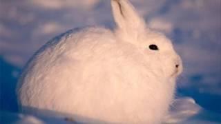 ホッキョクウサギが立ち上がった時のコレジャナイ感UC thumbnail