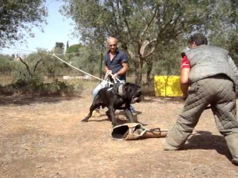 Training Neapolitan Mastiff
