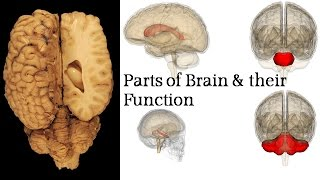 Biology – Forebrain Midbrain and Hindbrain structure Function in 5 minutes