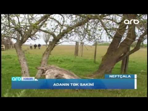 Adanın tənha sakini - ARB TV