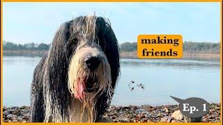 BEARDED COLLIES meet Black Russian Terrier, Episode 1