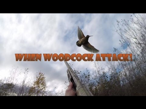 When Woodcock Attack! (funny Woodcock Hunt)
