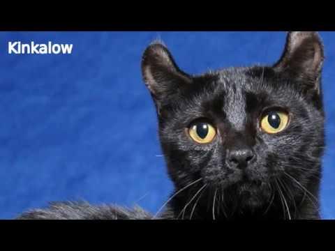 Kinkalow - cat breed