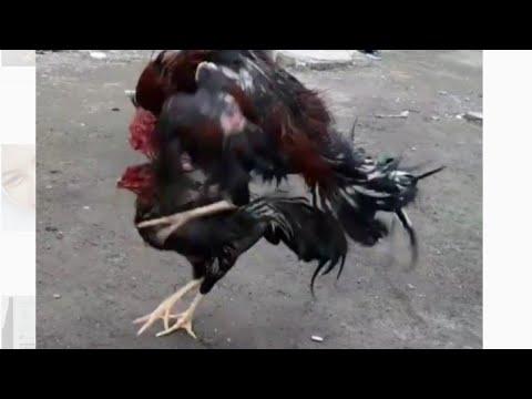 Ciri Ciri Ayam Pukul Dilihat Dari Segi Jalan Nya Sudah Kelihatan