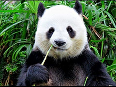 Best funny panda compilation 2015 youtube best funny panda compilation 2015 voltagebd Choice Image
