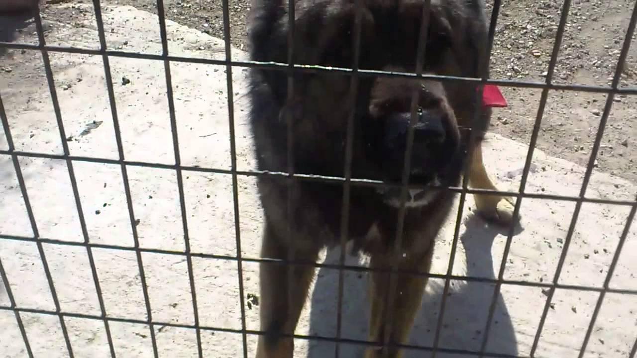 caucasian shepherd dog attacks on man - YouTube