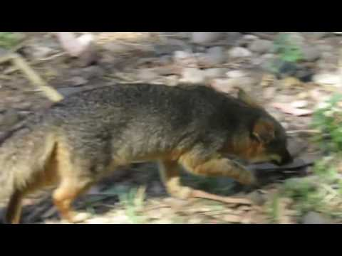Island Foxes of Scorpion Ranch