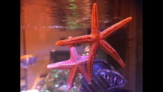 Starfish in the Reef Tank 😍 Red Sea Reefer XL 425 - Got Starfish!