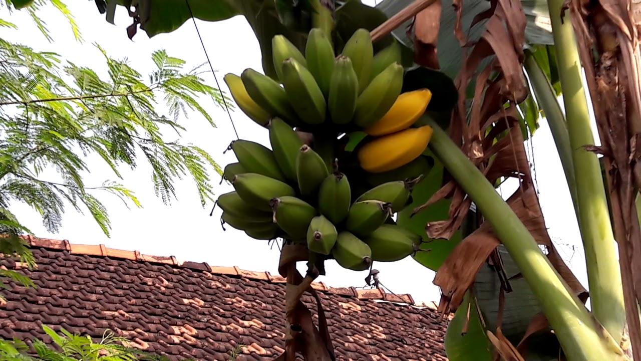 pohon pisang buahya sudah matang - YouTube