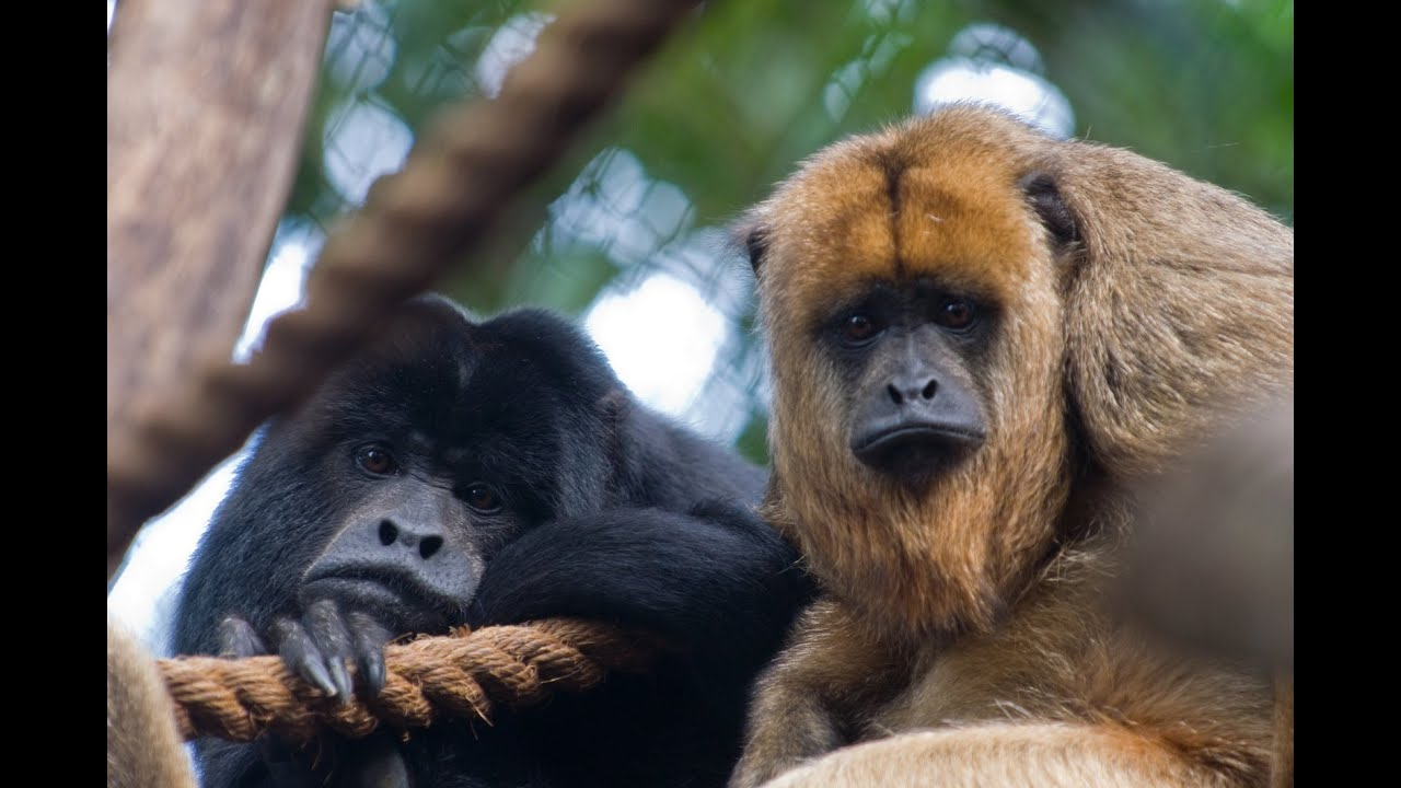hear a howler monkey howl youtube