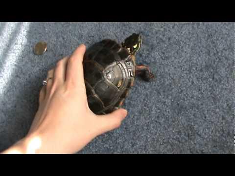Eastern Painted Turtle Update