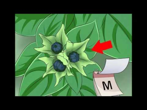 How to Grow Four O' Clock Flowers