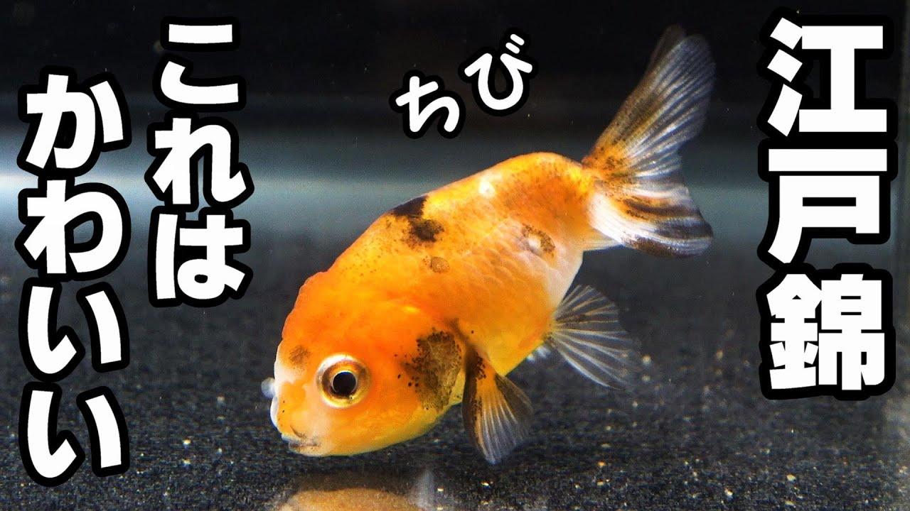 【金魚水槽】また、買っちゃった 江戸錦!