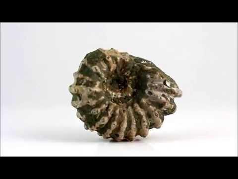 アンモナイト 化石 67g / Ammonoidea