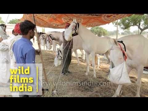 White marwari horses for sale during Pushkar mela, Rajasthan