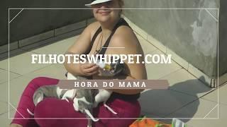 HORA DO MAMA FILHOTESWHIPPET.COM