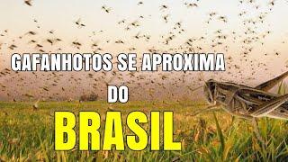 Nuvem de gafanhotos se aproxima do Brasil