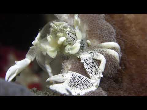 Bali Villa Dive Resort - Anemonenkrebs