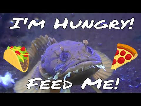 Orange Toadfish Eating