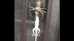 BIG SPIDERS INVADE MY HOUSE!