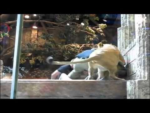 Las Vegas lion attack caught on camera