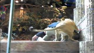 Las Vegas lion attack caught on camera