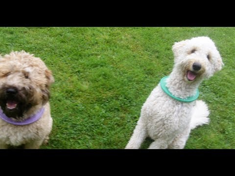 Coco Labradoodle & Rufus Wheaten Terrier fooling around.