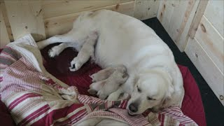 Dog Giving Birth - English Cream Golden Retriever