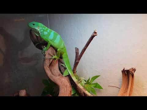 Alan, my fiji iguana