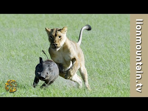 Lions Digging up Family of Warthogs | Caught in the Act Mp3