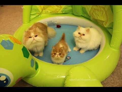 Kitty Pool Party : Meet Exotic Shorthair kitten Pancake 异国短毛猫